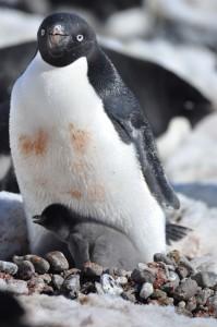 pengbaby
