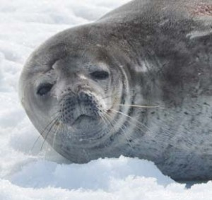 Weddell seal, by Stetson Glines