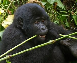 Courtesy of Bwindi National Park, Uganda