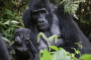 Trekking with gorillas in Uganda, 2017. Jane Wooldridge photo.